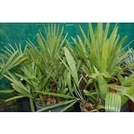 Palmbomen / palms Rhapidophyllum hystrix - Naaldpalm