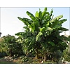 Bananen Musa basjoo - Japanse vezelbanaan