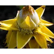 Bananen Musella lasiocarpa - Chinese lotusbanaan