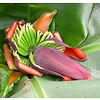 Bananen / bananas Musa sikkimensis Red Tiger - Darjeelingbanaan