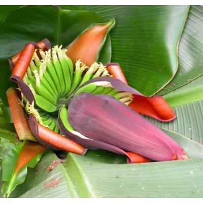 Bananen Musa sikkimensis Red Tiger - Darjeelingbanaan