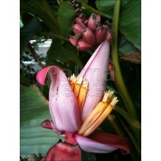 Bananen-bananas Musa velutina - Roze dwergbanaan