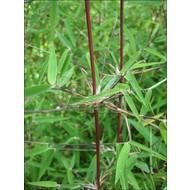 Bamboe Fargesia jiuzhaigou 1