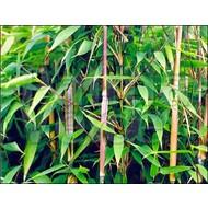 Bamboe Fargesia murieliae Nieuwe Generatie