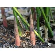 Bamboe Fargesia robusta Wolong