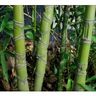 Bamboe-bamboo Phyllostachys aurea