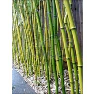 Bamboe Phyllostachys aureosulcata