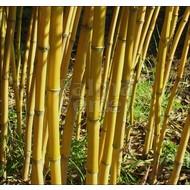 Bamboe Phyllostachys aureosulcata Aureocaulis