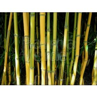 Bamboe Phyllostachys aureosulcata Spectabilis
