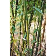 Bamboe Phyllostachys humilis