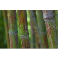 Bamboe-bamboo Phyllostachys nigra Boryana