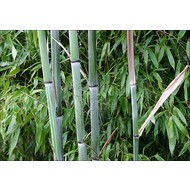 Bamboe-bamboo Phyllostachys nuda