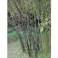 Bamboe-bamboo Phyllostachys nigra Punctata - Black bamboo