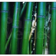 Bamboe Phyllostachys vivax McClure