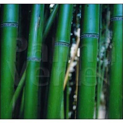 Bamboe-bamboo Phyllostachys vivax McClure