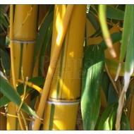 Bamboe Phyllostachys vivax Aureocaulis