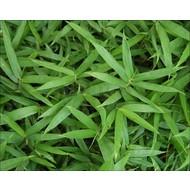 Bamboe-bamboo Pleioblastus pumilus - Pleioblastus chino Pumilus - Sasa pumila