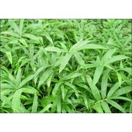 Bamboe-bamboo Pleioblastus pygmaeus - Dwarf bamboo