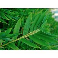 Bamboe Pleioblastus pygmaeus Distichus - Pleioblastus distichus