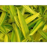 Bamboe Pleioblastus viridistriatus Auricoma - Pleioblastus auricoma