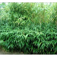 Bamboe Pseudosasa japonica