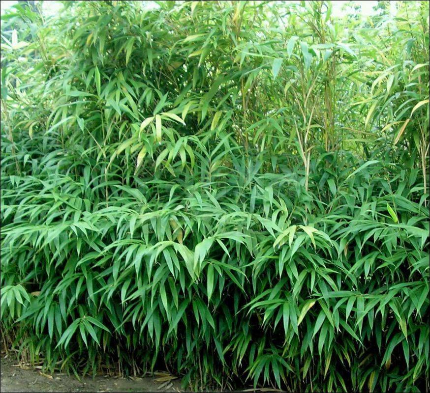 pseudosasa japonica palma verde exoten v o f. Black Bedroom Furniture Sets. Home Design Ideas