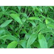 Bamboe Sasa kurilensis