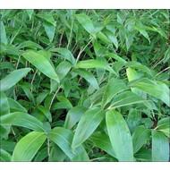 Bamboe / bamboo Sasa tsuboiana