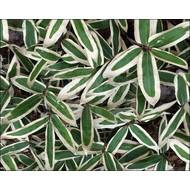 Bamboe Sasa veitchii