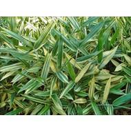 Bamboe Sasa masamuneana Albostriata - Sasaella glabra Albostriata