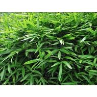 Bamboe Sasaella ramosa - Pleioblastus viridistriatus Vagans