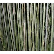 Bamboe Semiarundinaria fastuosa