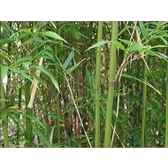 Bamboe Semiarundinaria fastuosa Viridis