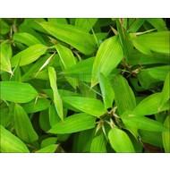 Bamboe Shibataea kumasasa