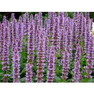 Bloemen Agastache Blue Fortune - Anijsplant - Dropplant - Anijsnetel