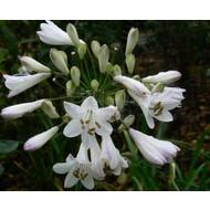 Bloemen Agapanthus praecox - Afrikaanse lelie