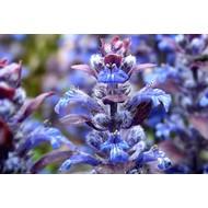 Bloemen-flowers Ajuga reptans Atropurpurea