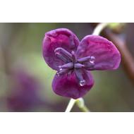 Bloemen Akebia quinata - Schijnaugurk