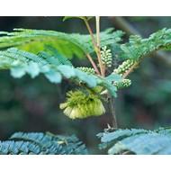 Bloemen Albizia lophantha - Paraserianthes lophantha