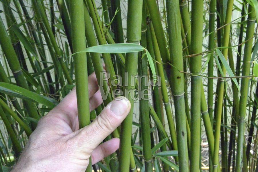 bamboe stunning fargesia niet woekerende bamboe with bamboe stunning bamboe fargesia simba. Black Bedroom Furniture Sets. Home Design Ideas