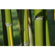 Bamboe-bamboo Phyllostachys vivax Huanwenzhu