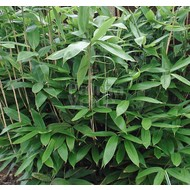 Bamboe Sasa palmata Nebulosa