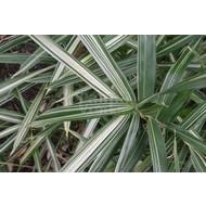 Bamboe / bamboo Pleioblastus fortunei Variegatus