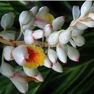 Bloemen Alpinia zerumbet Variegata - Gember