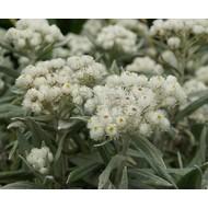 Bloemen Anaphalis triplinervis - Siberische edelweiss