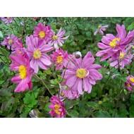 Bloemen / flowers Anemone x hybrida Prinz Heinrich - Herfst anemoon