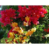 Bloemen Bougainvillea buttiana Hybriden