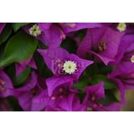 Bloemen Bougainvillea glabra