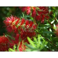 Bloemen Callistemon citrinus Splendens - Lampenpoetser