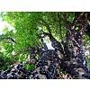 Eetbare tuin-edible garden Myrciaria cauliflora - Jabuticaba - Guapuru - Braziliaanse druivenboom